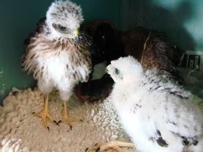 Nestling Cooper's hawks