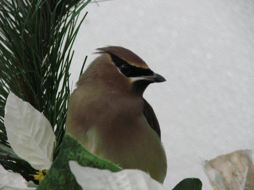 Cedar waxwing in indoor flight