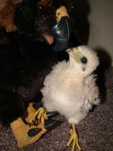 Cooper's hawk baby orphaned when nest fell