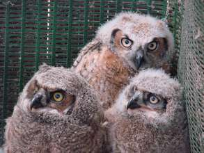 Great-horned owl 'branchers'