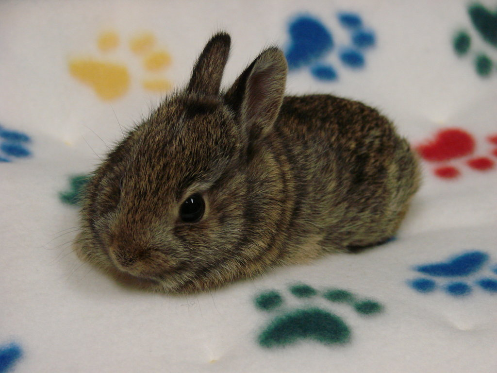 Baby cottontail rabbit - photo#1