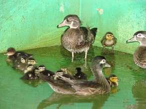 Wood ducks and ducklings