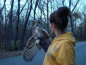 Great horned owl release day