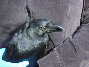 Immature crow