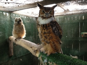 Alberta (foster great horned owl) and brancher