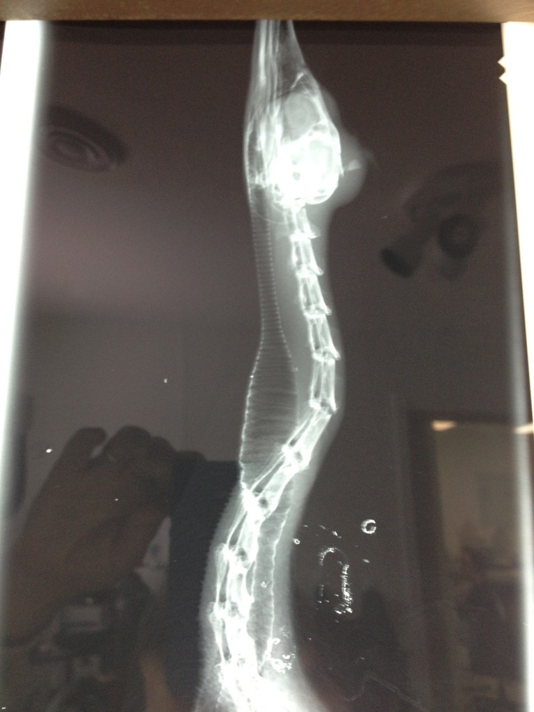 X-ray of merganser showing fracture of skull