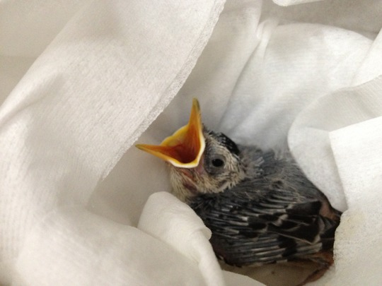 Nestling White-breasted Nuthatch