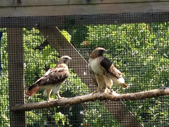 Red-tailed Hawks on the day of Release