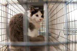 Oscar, our 50,000th cat, awaiting surgery