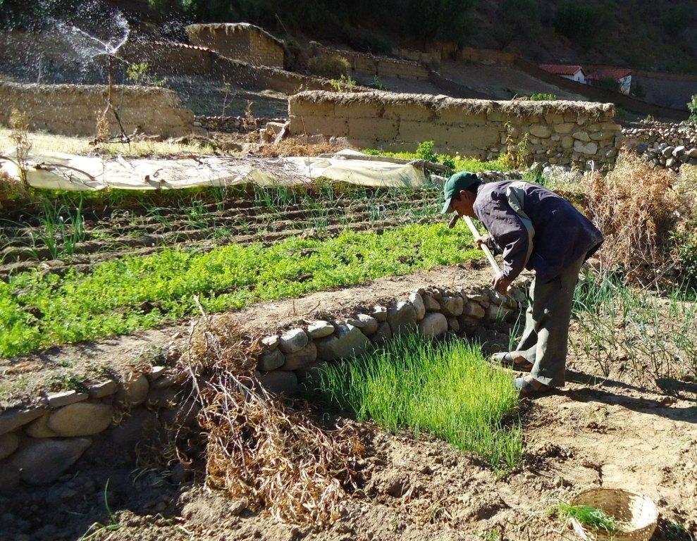 Older farmer tending his irrigated garden