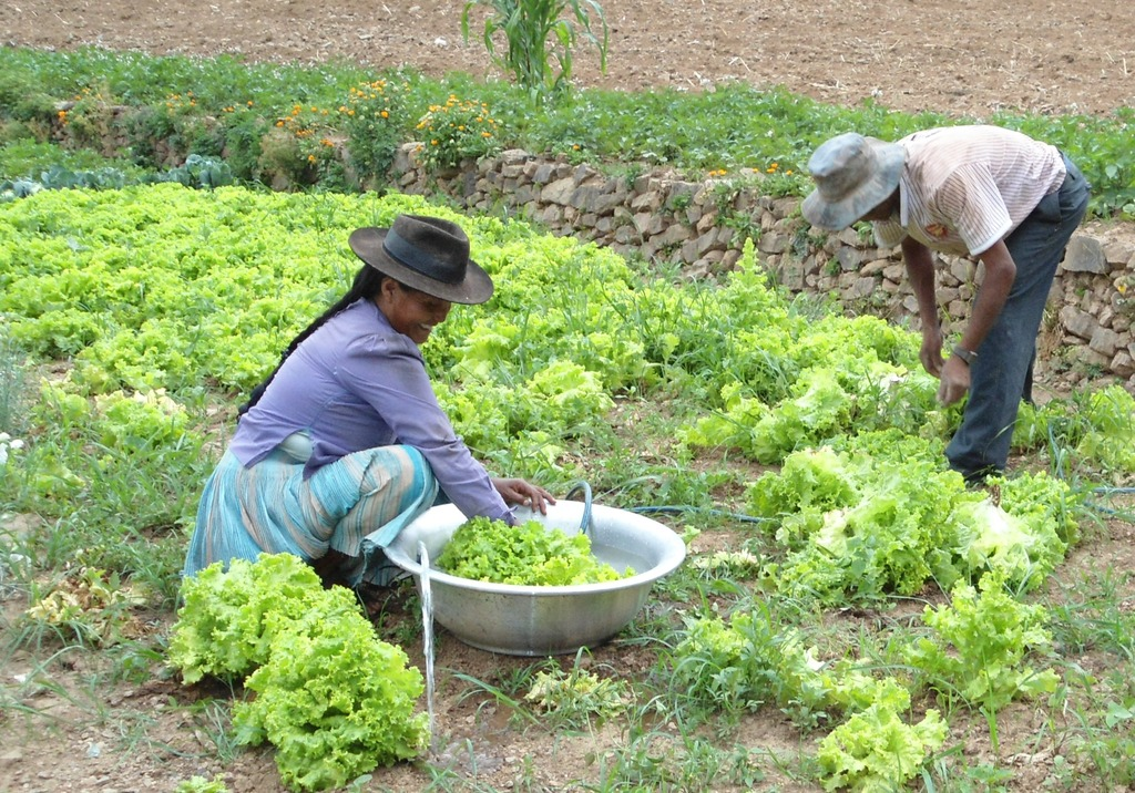 Older people collecting lettuce to prepare a meal