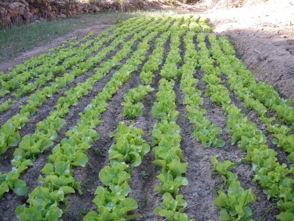 Fresh lettuce growing in community plots