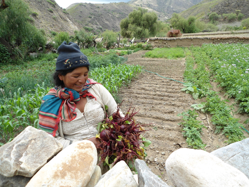 A Tarabuco villager collects beetroots