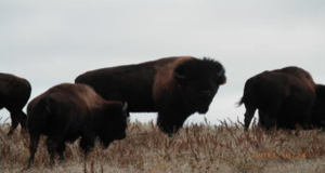 Bison on the Knife Chief Pasture