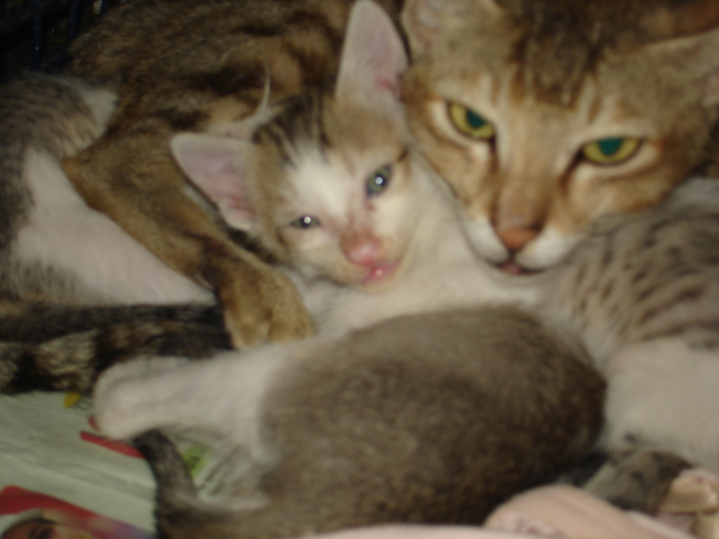 A mother cat admitted for spaying