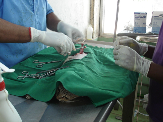 A cat undergoing surgery