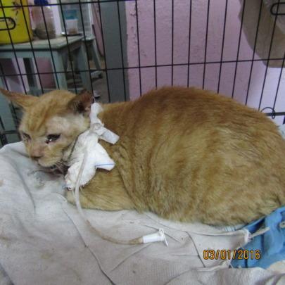 Ginger Boy under treatment