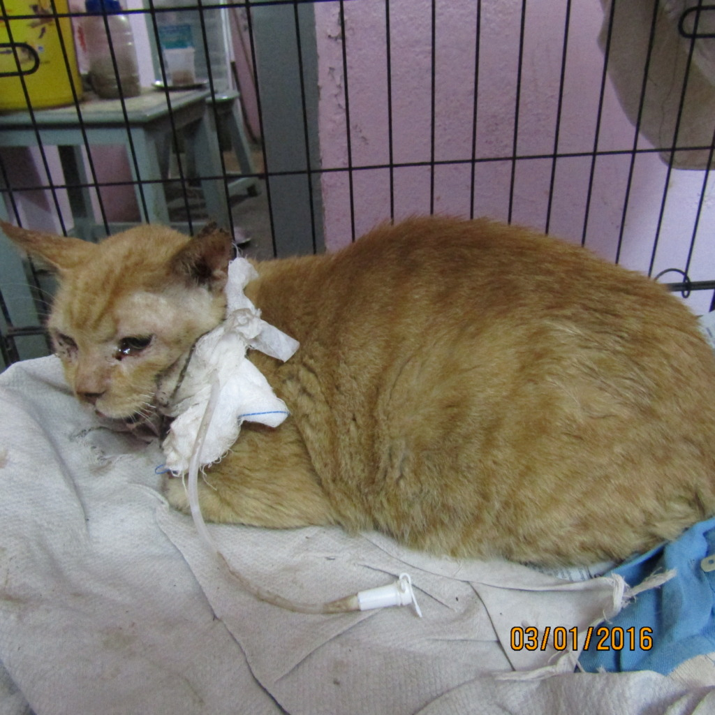 Ginger Boy under treatment