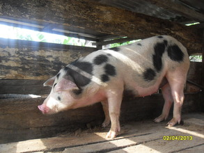 A  beneficiary's happy piglet