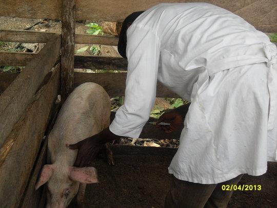 Piglets receiving vaccine