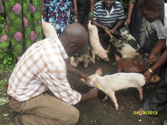 Giving a vaccine to the piglet