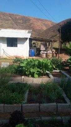 Huge vegetables