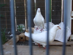 Beloved special lady foster pigeons Louie & Abby
