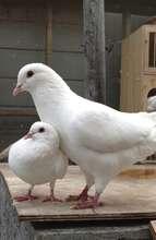 Rescued pigeons Gypsy & Milkshake Mike