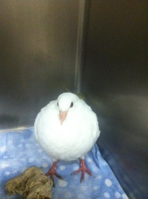 Injured baby pigeon Percy at the animal shelter