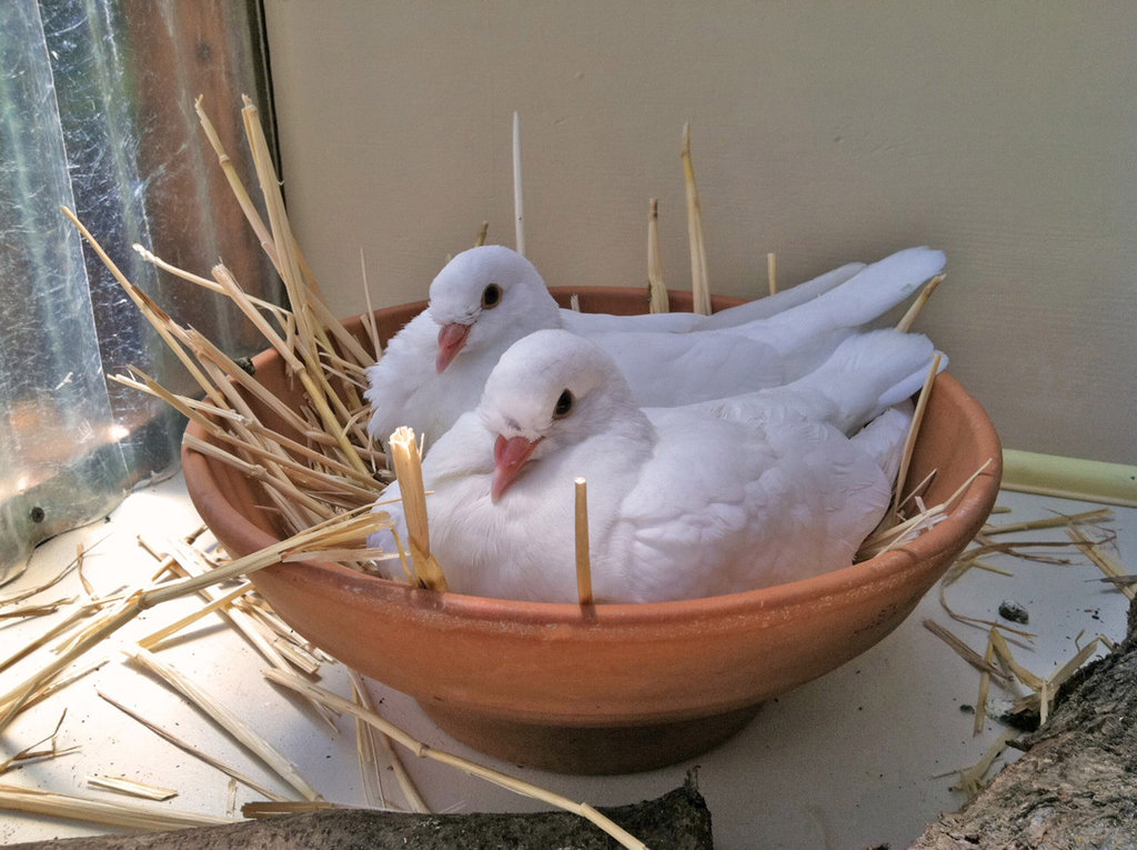 Save Domestic Pigeons and Doves From Euthanasia
