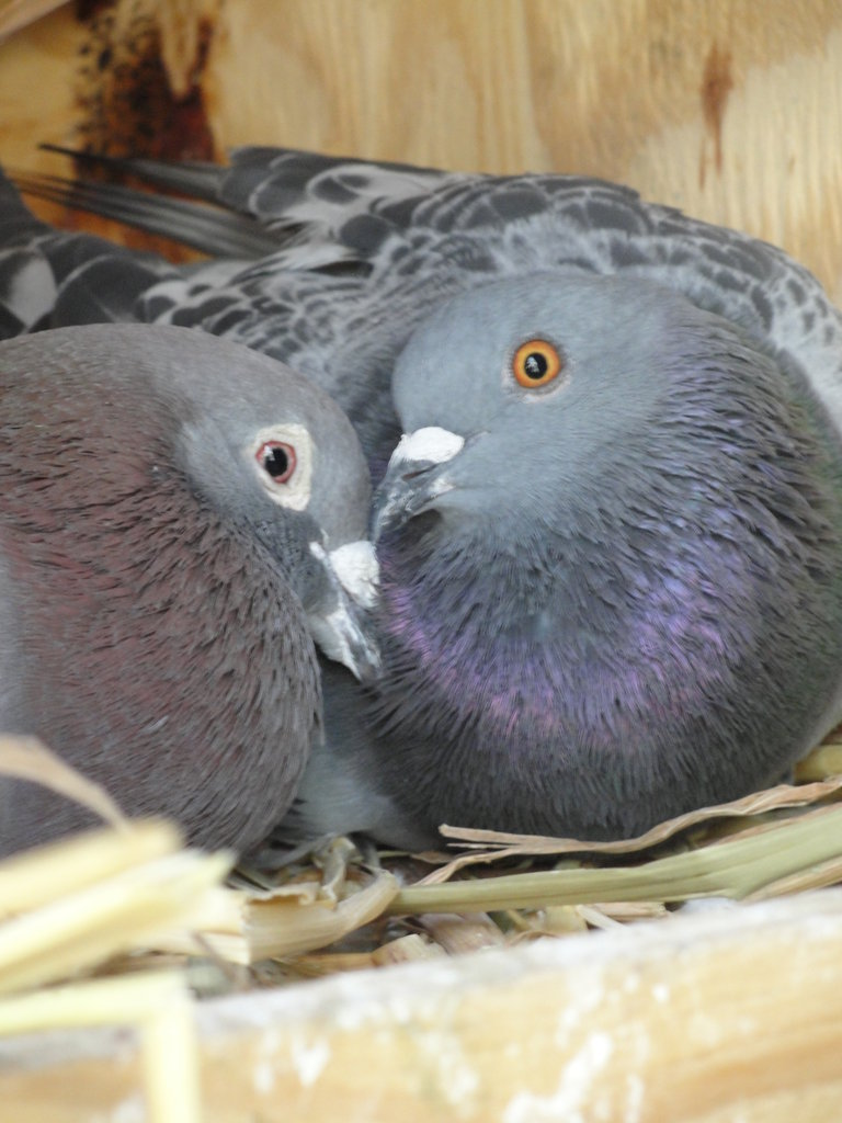 Injured racing pigeons Elinor & Lucky found love and a safe, forever home through MickaCoo Pigeon & Dove Rescue. Elinor, struck by a car, unable to fly, and no longer wanted by his previous owner is totally devoted to his mate Lucky. Thank you to volunteer and adopter Jill Shepard for this photo.