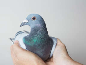 Indy- A Pigeon Racing Survivor