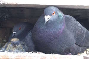 Pigeon Family Values