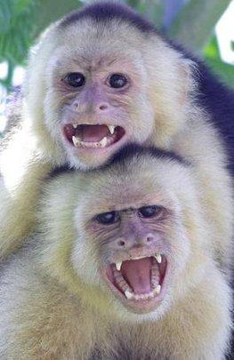 Whitefaced Monkeys - Dana Holm