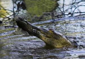 Crocodile - Dana Holm