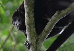 Howler Monkey - Dana Holm