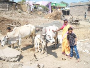 The cow & calf bought from profit of chilly trade