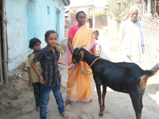 Chilly --> Cow + calf --> & now a Goat --> contd..