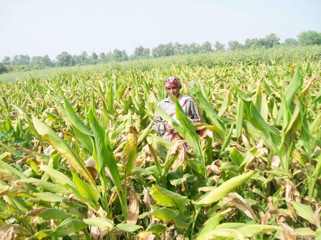 Ranjana amidst her field of mature turmeric