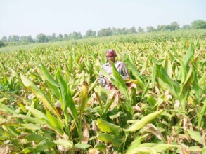 Ranjana amidst her field of mature turmeric