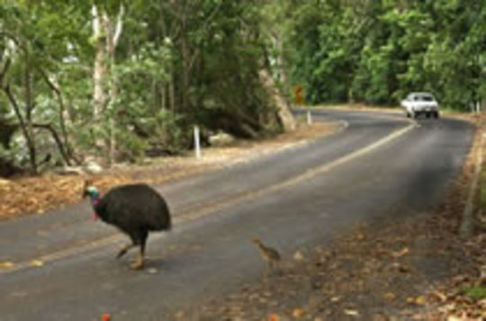 Cars & Cassowary Don