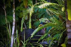 Teenage cassowary checking out the planting