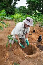 Planting a cassowary food tree