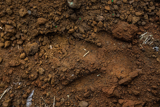 Cassowary foot print - it visited the night before