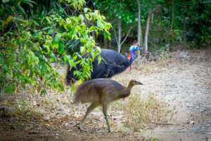 Cassowary Father with his chick