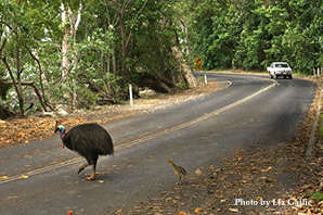 Traffic is the No.1 cause of Cassowary mortality