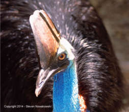 Cassowary Added to Threatened Species List