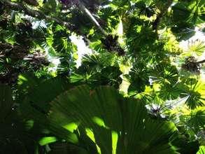 Fan palms in the Daintree Rainforest