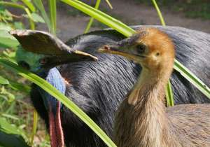 A male cassowary and his young