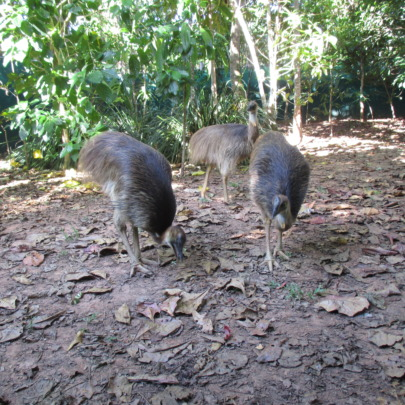 The three cassowaries - September 2015